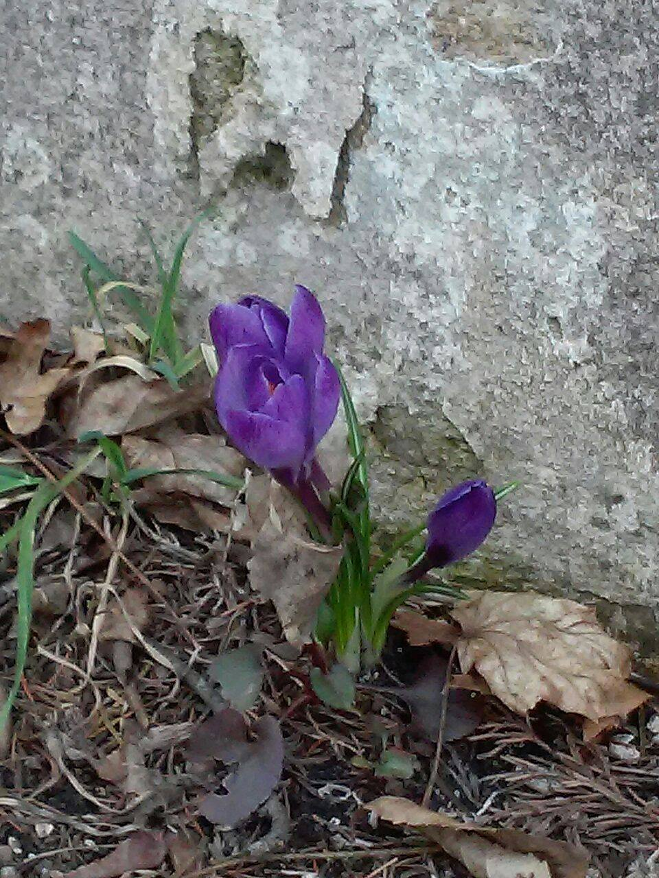 First spring flowers of the season, a purple crocus.